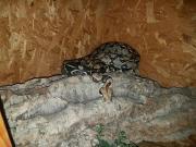 2 Boa Schlangen