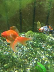 2 Goldfische zu