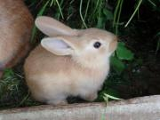 2 Rammler, Kaninchen