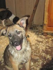 2 Schäferhundmischlingswelpen suchen
