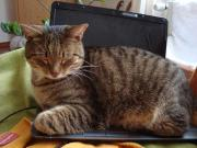 2 verschmuste Hauskatzen (