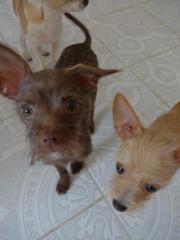 3 Chihuahuas/ 7