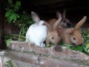 3 Kaninchen Hasen