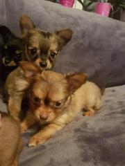 3 Langhaar Chihuahua