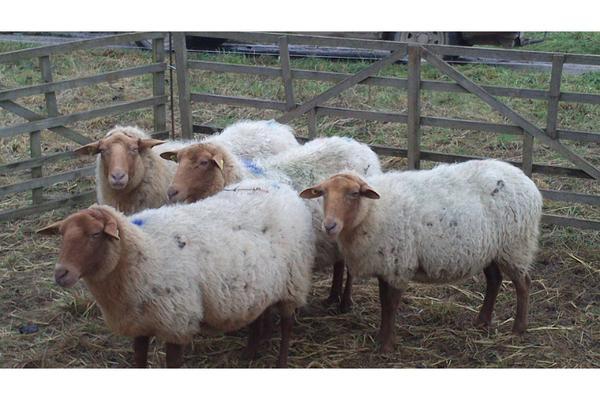 4 Coburger-Fuchsschafe » Nutztiere