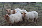 4 Coburger Fuchsschafe » Nutztiere aus Hochstadt