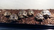 4 Landschildkröten mit