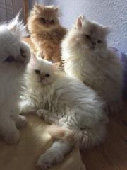 4 putzige Perser