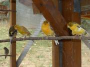 6 Junge Kanarienvögel