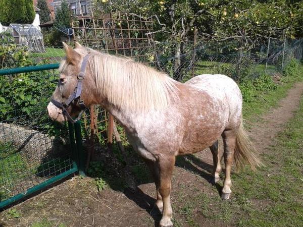 appaloosa pony stute zu verkaufen in h hfr schen pferde. Black Bedroom Furniture Sets. Home Design Ideas