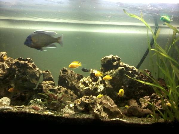 aufl sung s wasser buntbarsch aquarium 450 liter inkl in odelzhausen fische. Black Bedroom Furniture Sets. Home Design Ideas