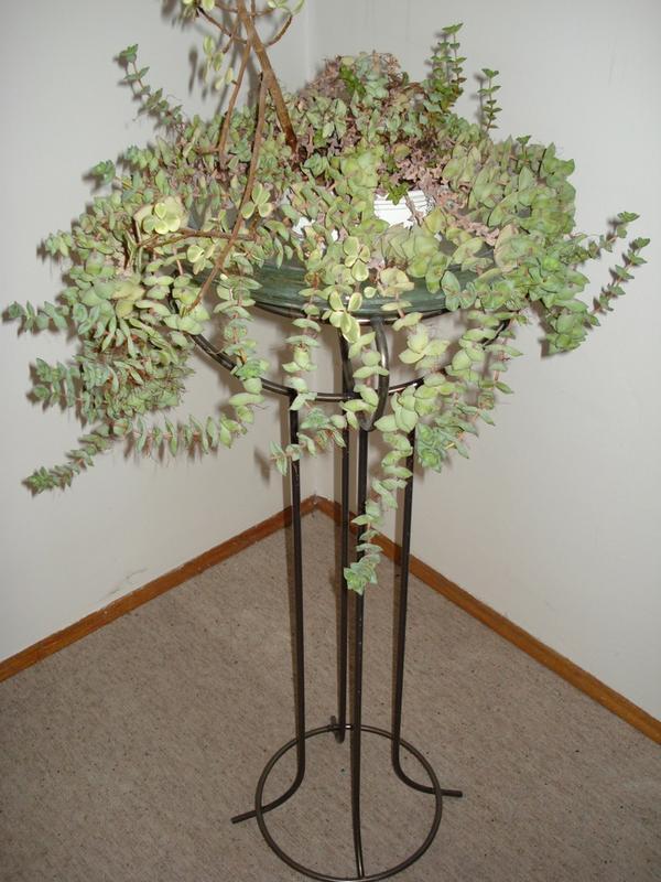 au ergew hnliche dekorative zimmerpflanze pflegeleicht gro e pflanze familie sukkulenten in. Black Bedroom Furniture Sets. Home Design Ideas