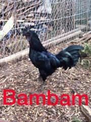 Ayam Cemani Eier