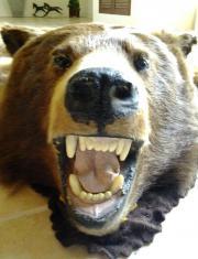 Bärenfell, Fell, Präparat,