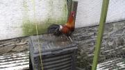 Bankiva Hühner