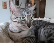 Bengal Katze, Bengalen