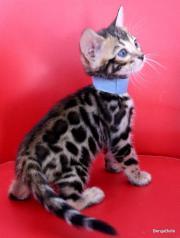 Bengal Kitten aus