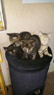 BKH-MIX Kitten!