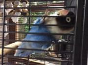 Blaues Schwarzköpfchen