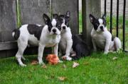 Boston Terrier Welpen