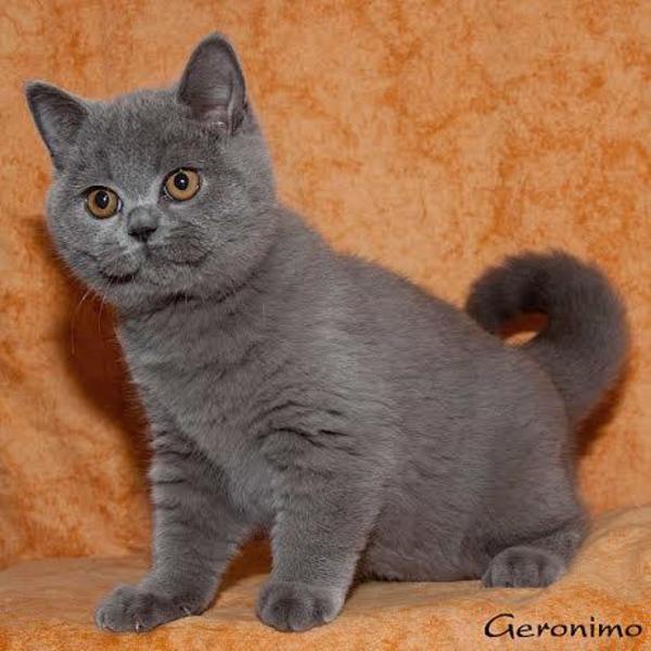 Britisch Kurzhaar K 228 Tzchen Blau In Saarbr 252 Cken Katzen Kaufen Und Verkaufen 252 Ber Private