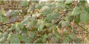 Brombeeren, Brombeere, Brombeerpflanzen,