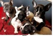 bulldogge-Franzo welpen8*