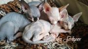 Canadian Sphinx Kitten 4 Canadian Sphinx Kitten aus liebevoller Familienaufzucht in liebevolle Hände zuvermitteln. Kitten ... 500,- D-99706Sondershausen Heute, 18:33 Uhr, Sondershausen - Canadian Sphinx Kitten 4 Canadian Sphinx Kitten aus liebevoller Familienaufzucht in liebevolle Hände zuvermitteln. Kitten
