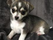 Chihuahua Hündin huskyfarben
