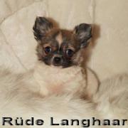 Chihuahua Rüde Hercules