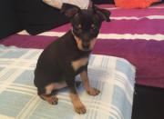 Chihuahua verkaufen