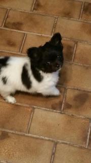 Chihuahua welpen rüde.