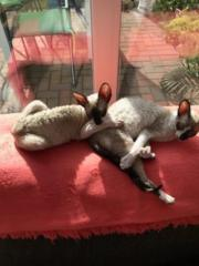 CORNISH REX .BlaueAugen,