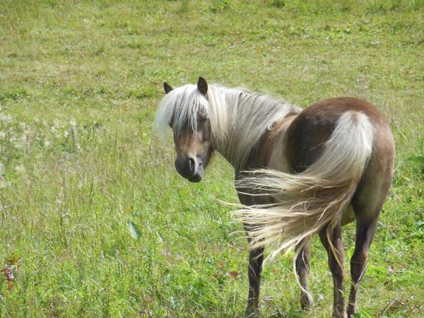 deutsche classic pony stute zu verkaufen in osterode. Black Bedroom Furniture Sets. Home Design Ideas