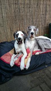 Deutsche Doggen Paar