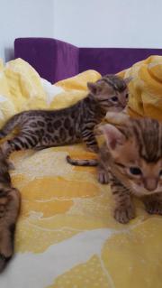 Drei Bengal Kitten,
