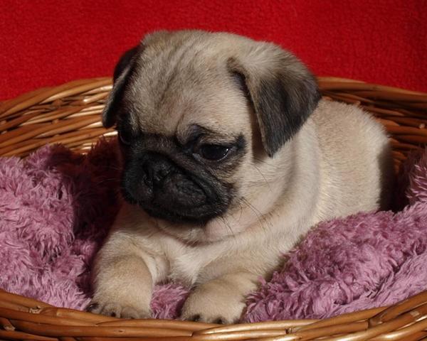 drollige mops baby in stuttgart hunde kaufen und verkaufen ber private kleinanzeigen. Black Bedroom Furniture Sets. Home Design Ideas