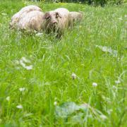 Duroc Schweine 10