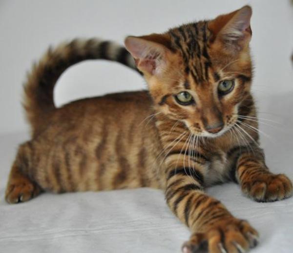 echte reinrassige toyger kitten k tzchen mit papieren abzugeben in osnabr ck katzen kaufen und. Black Bedroom Furniture Sets. Home Design Ideas