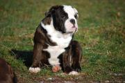 English Bulldog m.