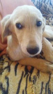 Familienhund: Labradormix Liza