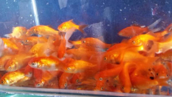 Fischfutter pellets f r alle teichfische goldfische und for Teichfische arten bilder