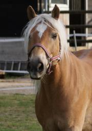Fitter Haflinger-Wallach