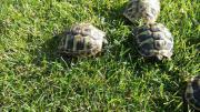 Griechiche Landschildkröten