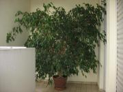 große Birkenfeige Ficus