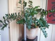 große ZAMIOCULCAS Zimmerpflanze