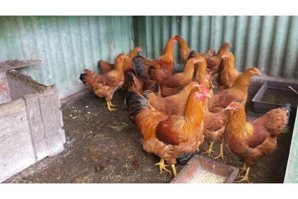 Teakholz Gartenmobel Streichen : hühner zu verschenken in Karlsruhe  Vögel kaufen und verkaufen