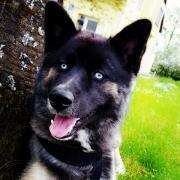 Husky 8 Monate
