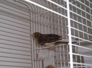 Kanarien - Kanarienvögel zu