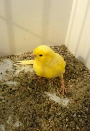 Kanarienvögel, Kanarien, gelb